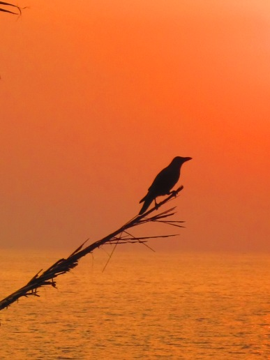 Bird, Verkala, India